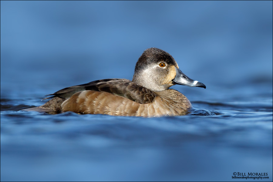 Ring-necked-Duck-03