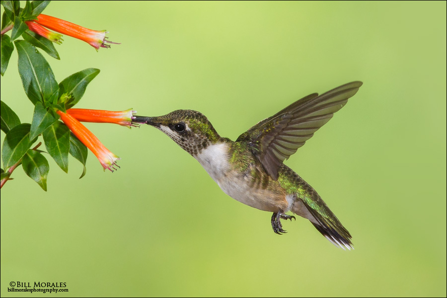 Ruby-throated Hummingbird 01