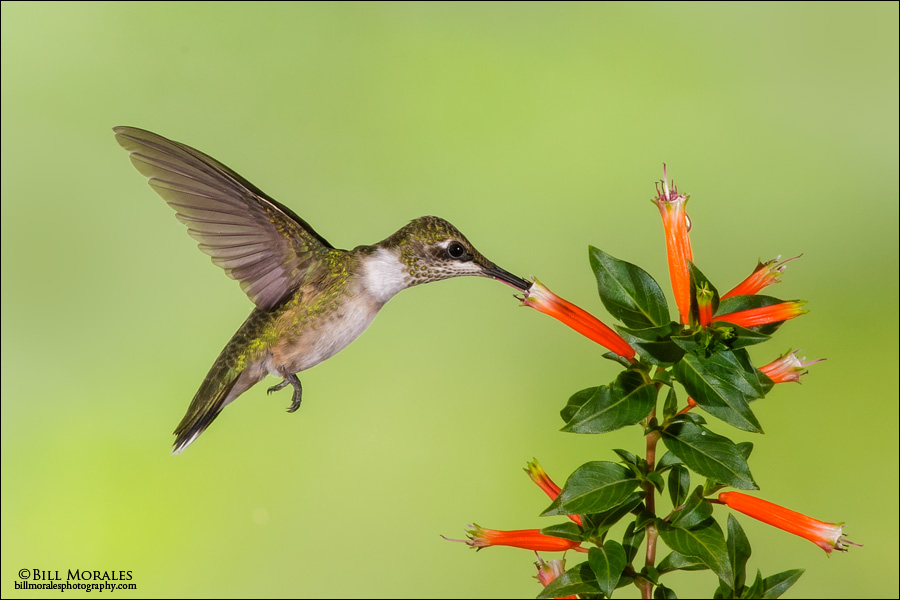 Ruby-throated Hummingbird 02-1