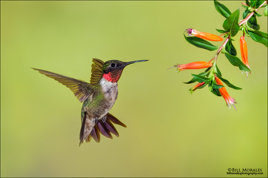 Ruby-throated Hummingbird 03