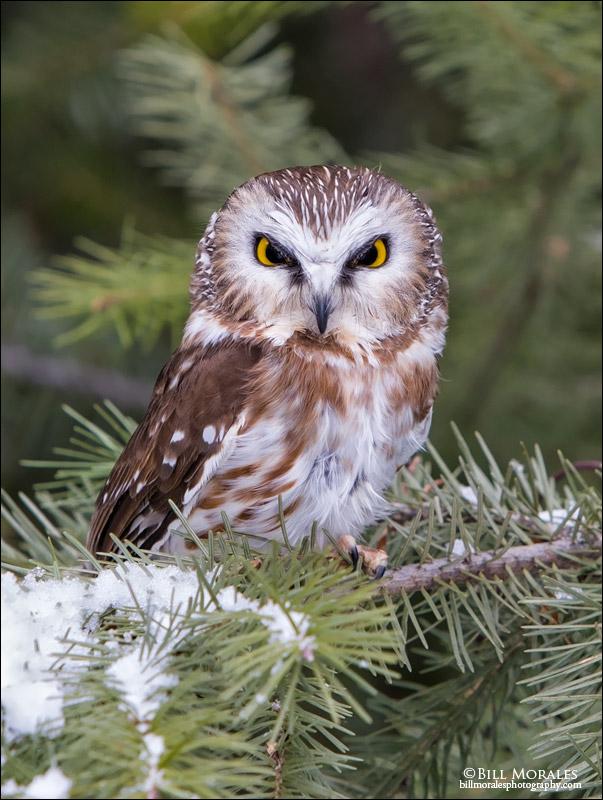 Saw-whet-Owl-01
