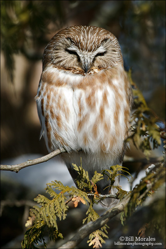 Saw-whet-Owl-02