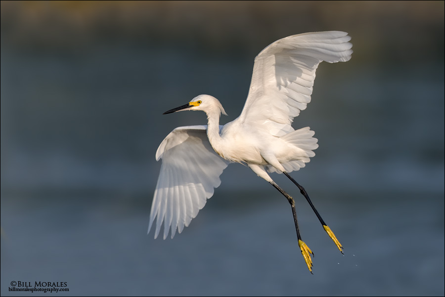 Snowy-Egret-01