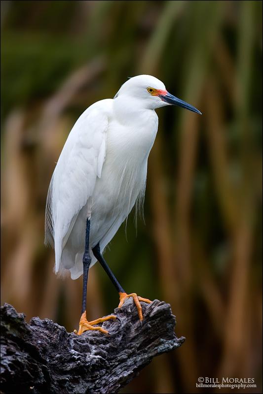 Snowy-Egret-02