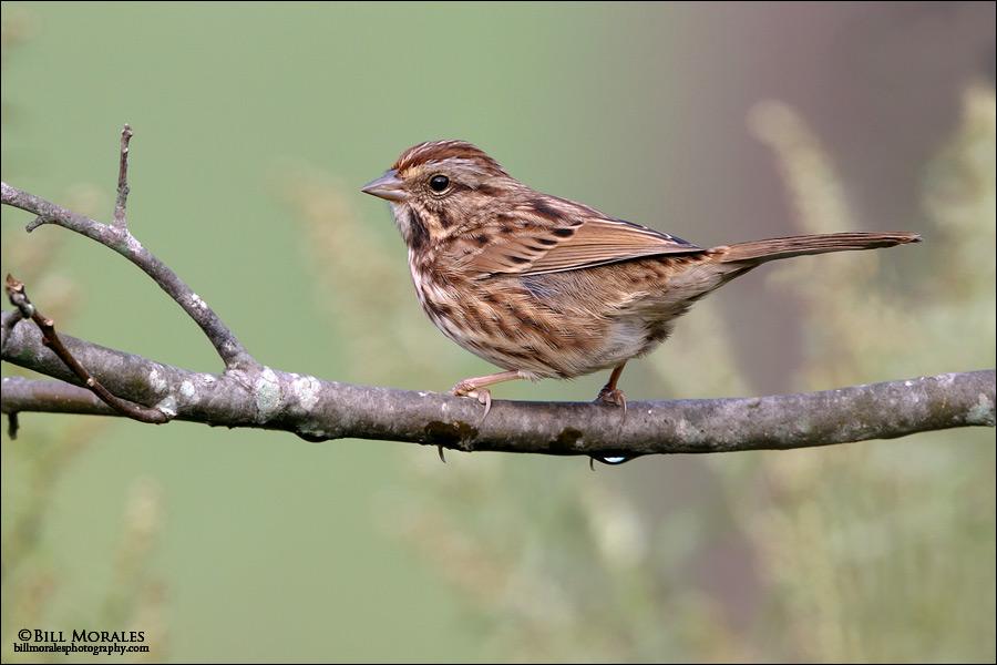 Song-Sparrow-01