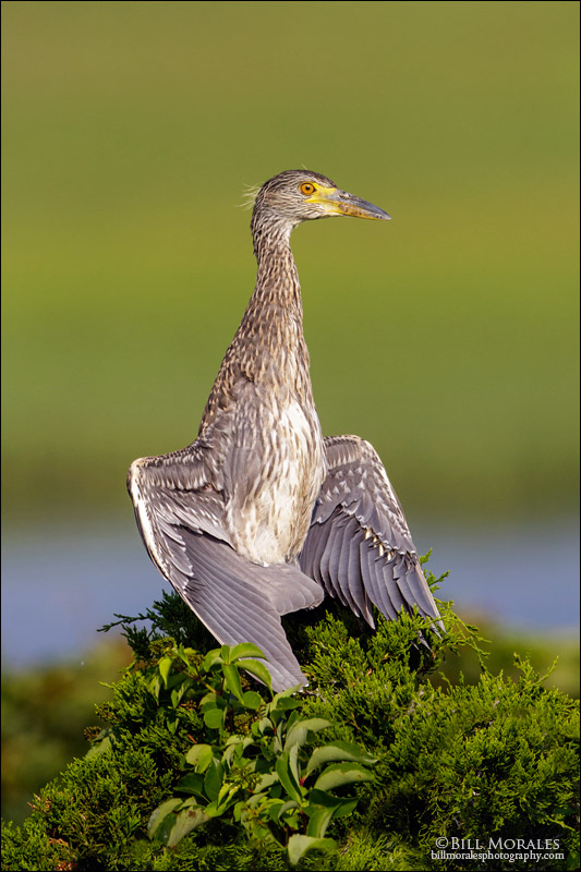 Yellow-Crowned-Night-Heron-06