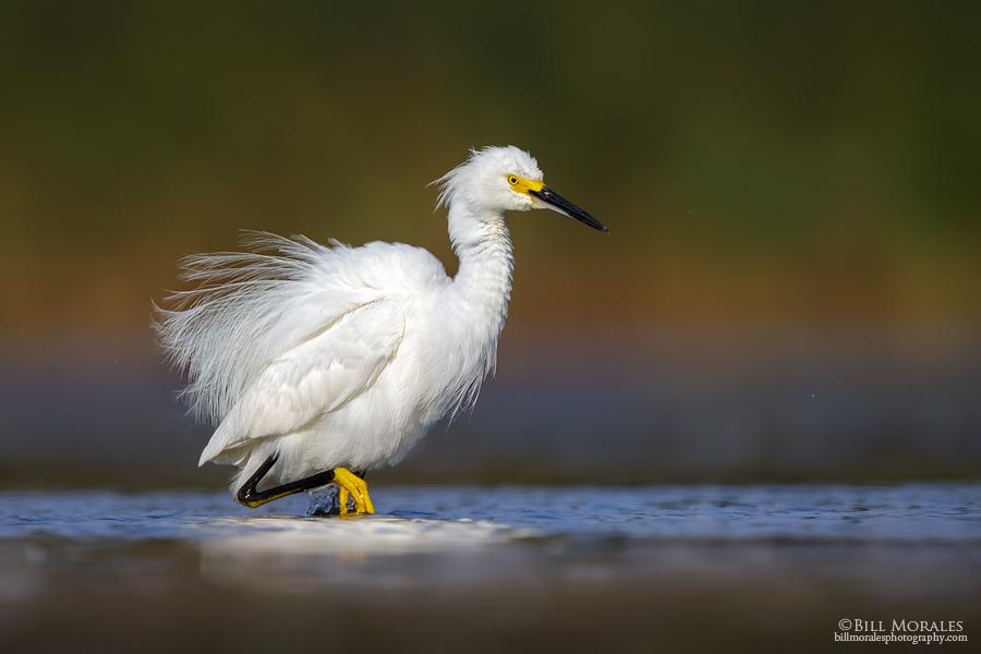 Snowy-Egret-03-1