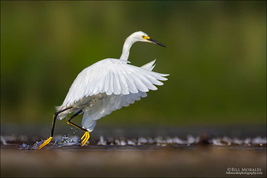 Snowy-Egret-04-1