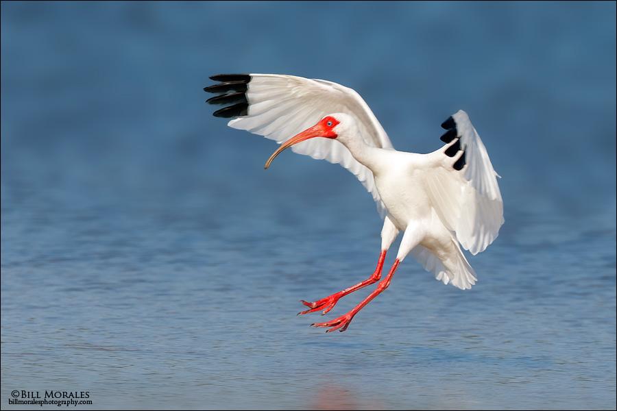 White Ibis 01