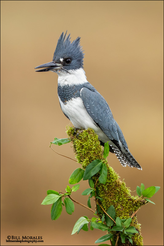 Belted-Kingfisher-02