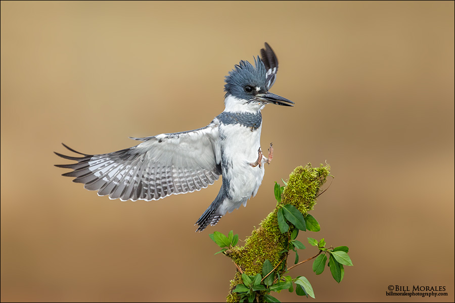 Belted-Kingfisher-03