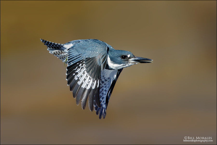 Belted-Kingfisher-04