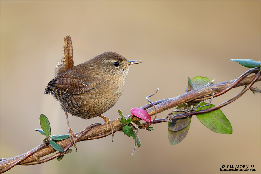 Winter Wren 01