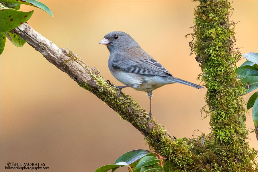 Dark-eyed Junco 01