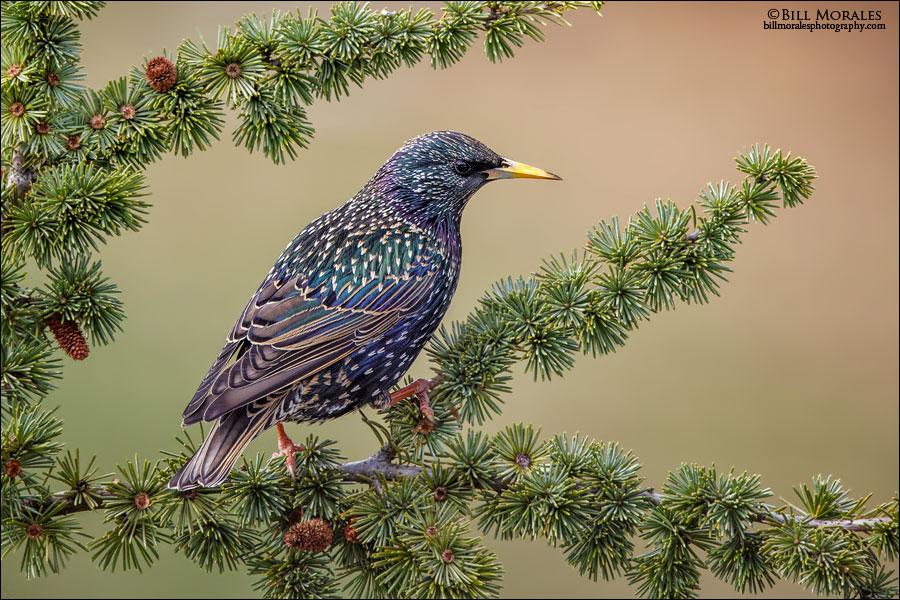 European Starling 01