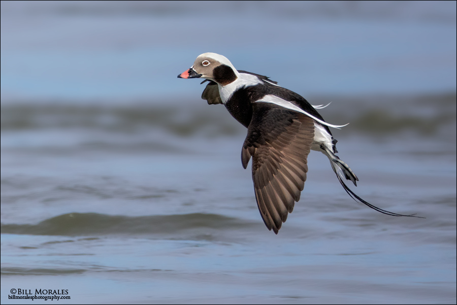 Long-tailed-Duck-05