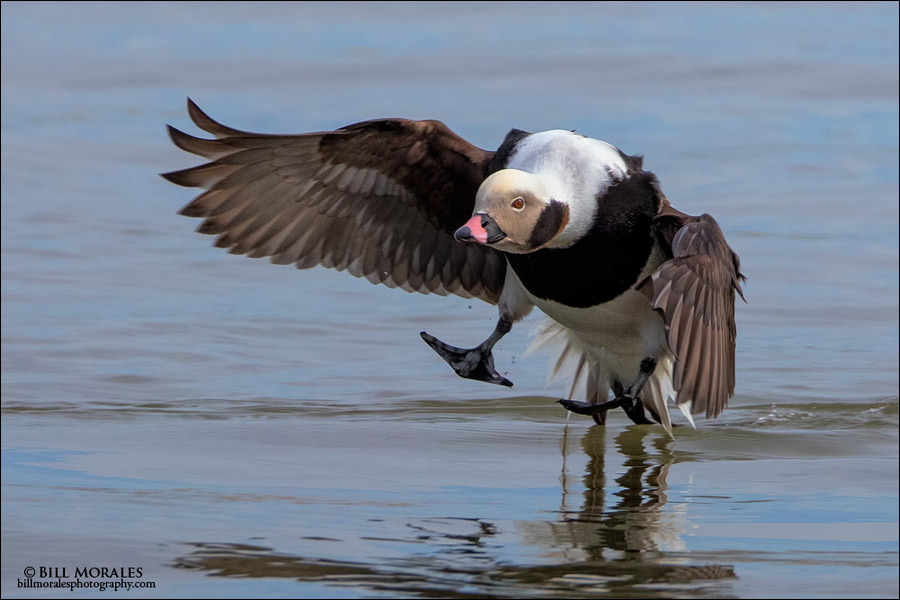 Long-tailed-Duck-06