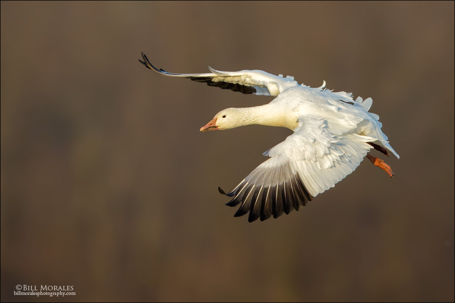 Snow goose 01