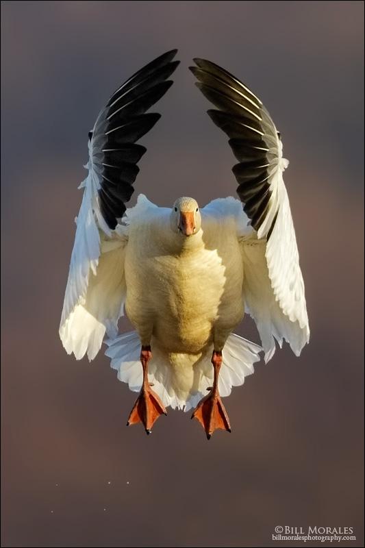 Snow goose 02