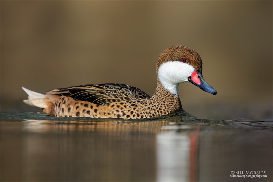 White-cheeked-Pintail-02