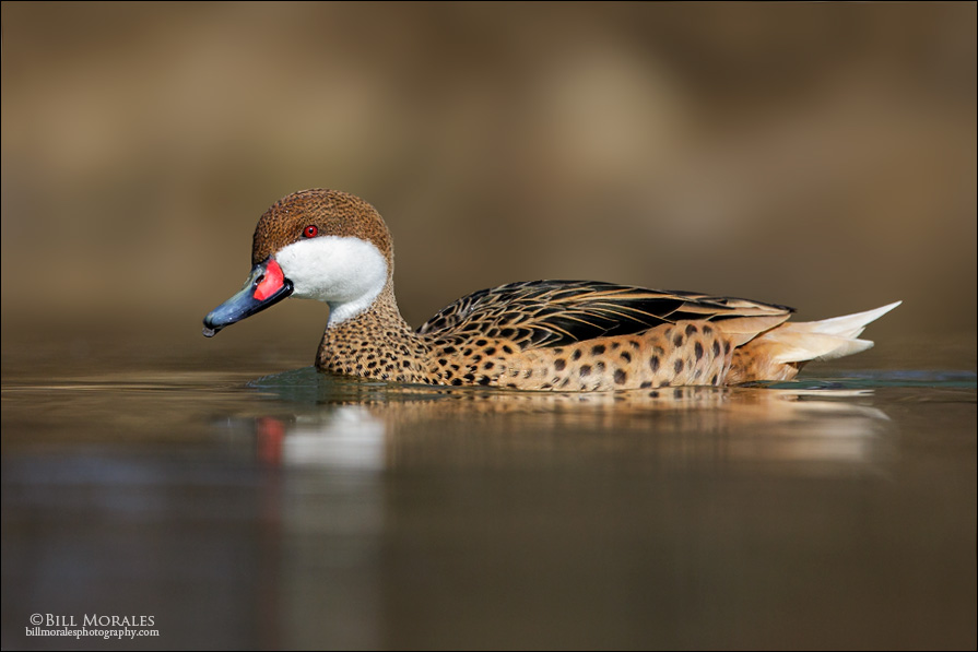 White-cheeked-Pintail-03