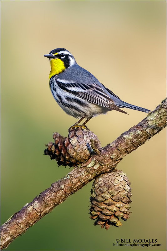 Yellow-troated Warbler 01