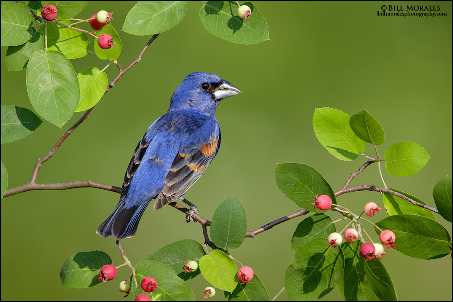 Blue-grosbeak-05
