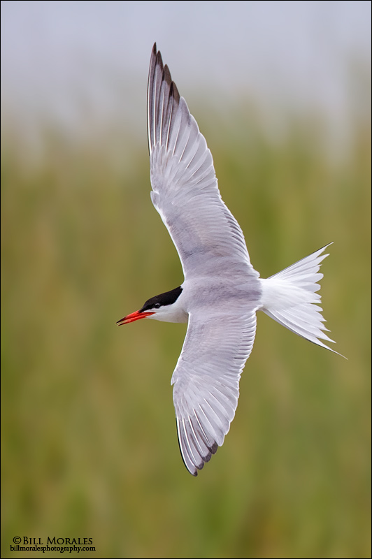 Common-Tern-01-2