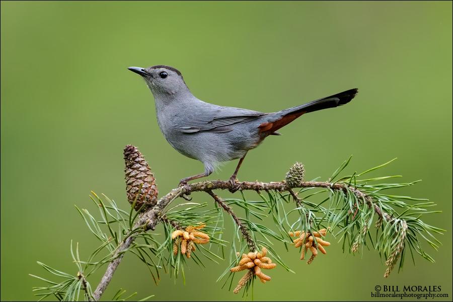 Gray Catbird-01