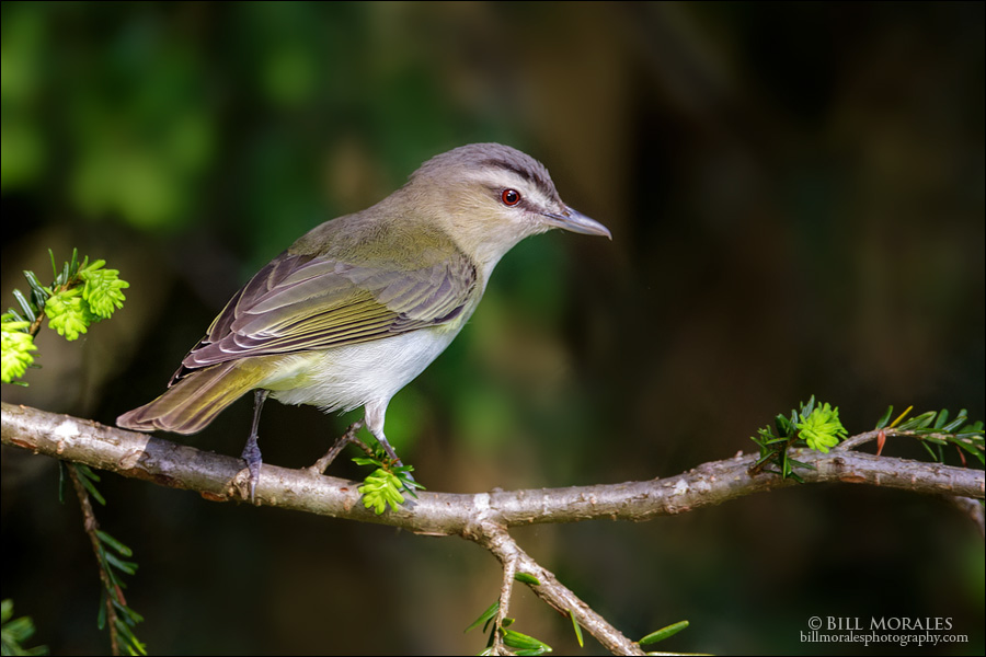 Red-eyed Vireo 02