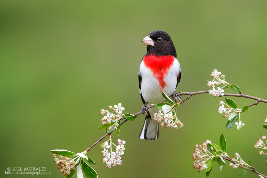 Rose-breasted-Grosbeak-02