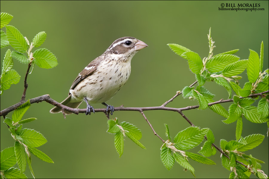 Rose-breasted-Grosbeak-03