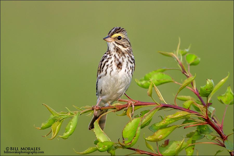 Savannah-Sparrow-02