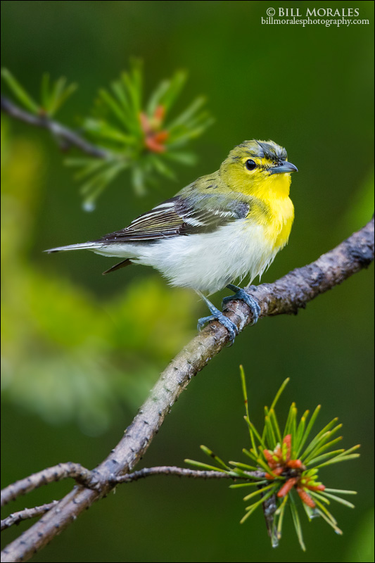 Yellow-throated Vireo 01