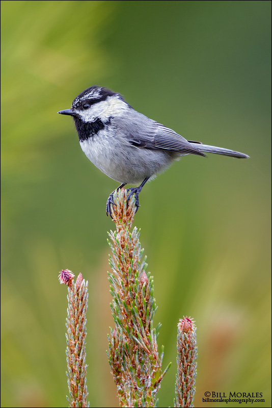 Mountain Chickadee 01