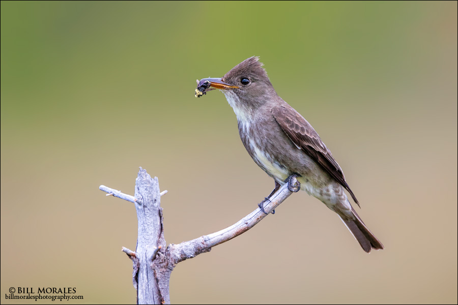 Olive-sided Flycatcher 01