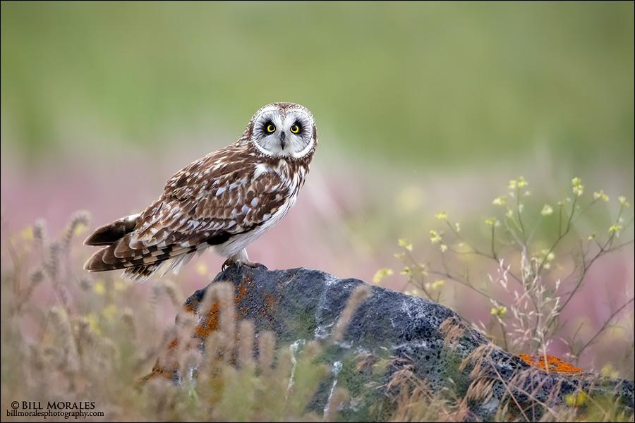 Short-eared-Owl-03