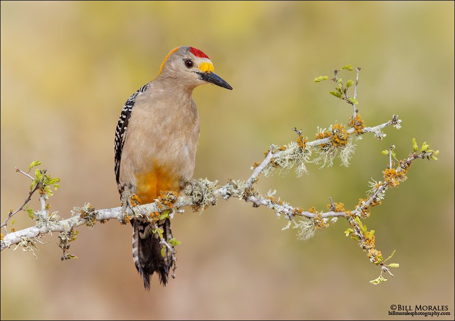 Golden-fronted-Woodpecker-01
