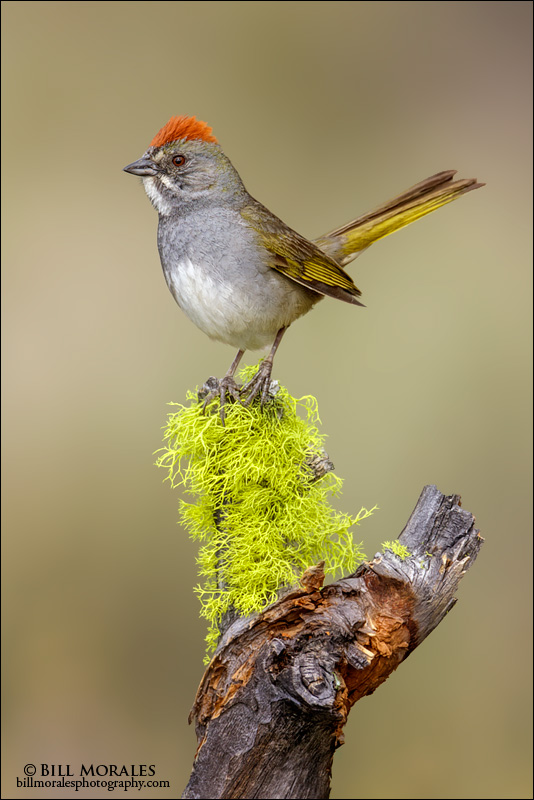 Green-tailed Towhee 01