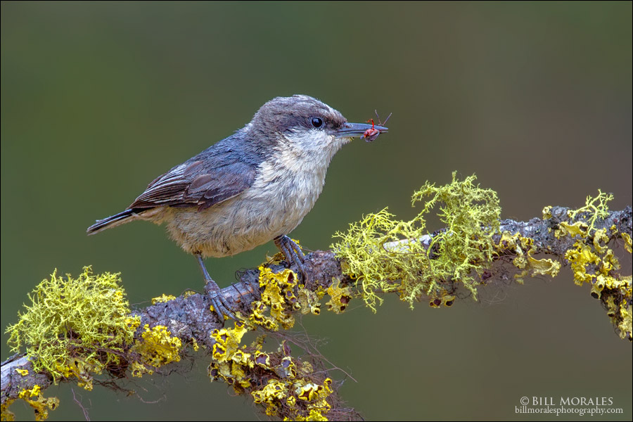 Pygmy Nuthatch 01