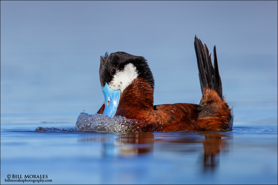 Ruddy-Duck-03