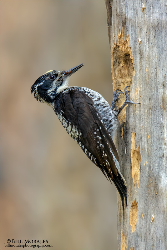 Three-toed-Woodpecker-01