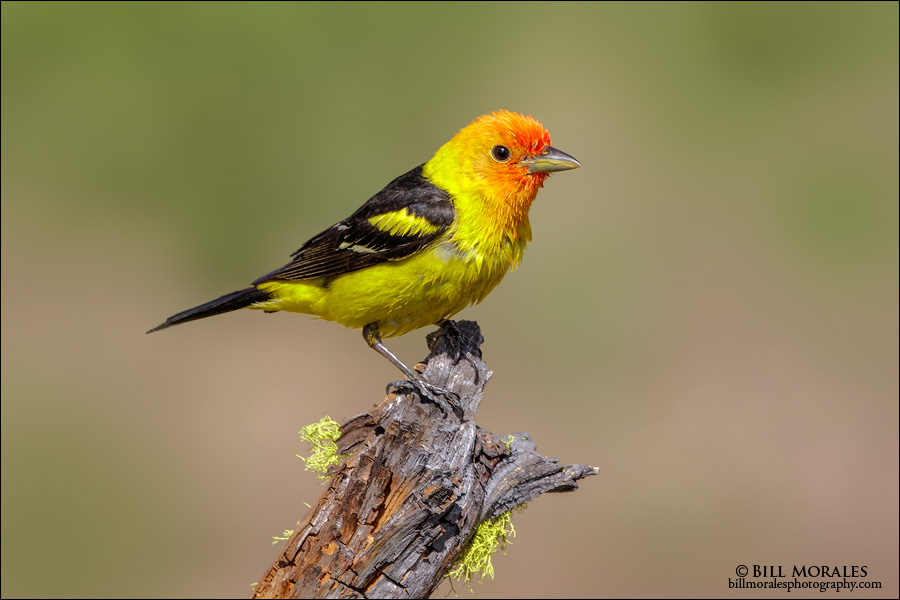 Western Tanager 02
