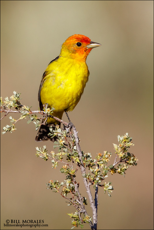 Western Tanager 03