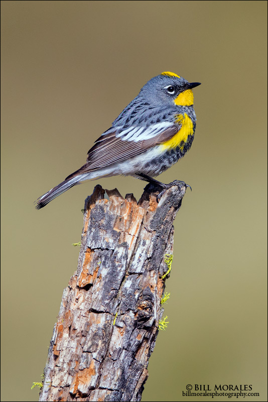 Yellow-rumped-Warbler-01