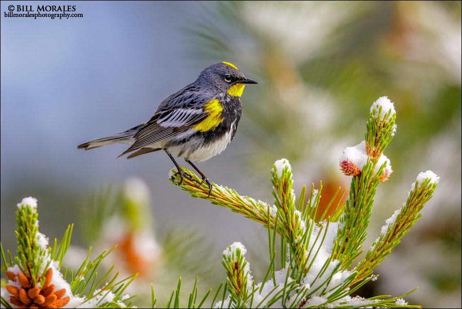 Yellow-rumped-Warbler-02